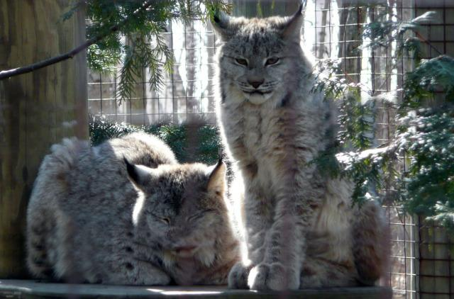 Picture of The Canadian Lynx