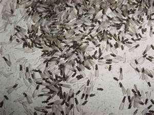 It Is Termite Swarming Season