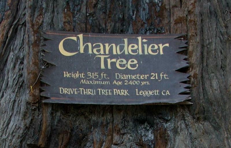 Chandelier Redwood Tree - 315 ft tall - Diameter 21 ft - Age 2400 ...