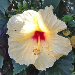 tropical flowers in Haiku Maui HI
