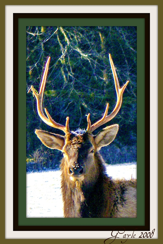 Roosevelt Elk Adult Bull by Gayle Rich-Boxman