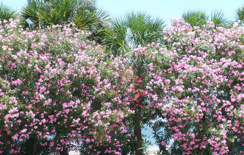 Florida 39 s oleander bushes are indeed beautiful