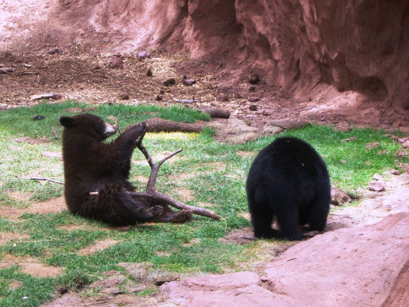 Bear cubs at Bearizona