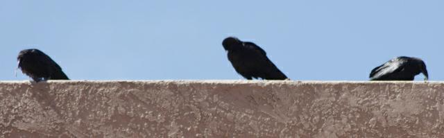 Common ravens on a roof