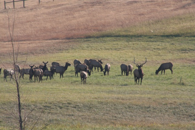 Elk herd in front yard