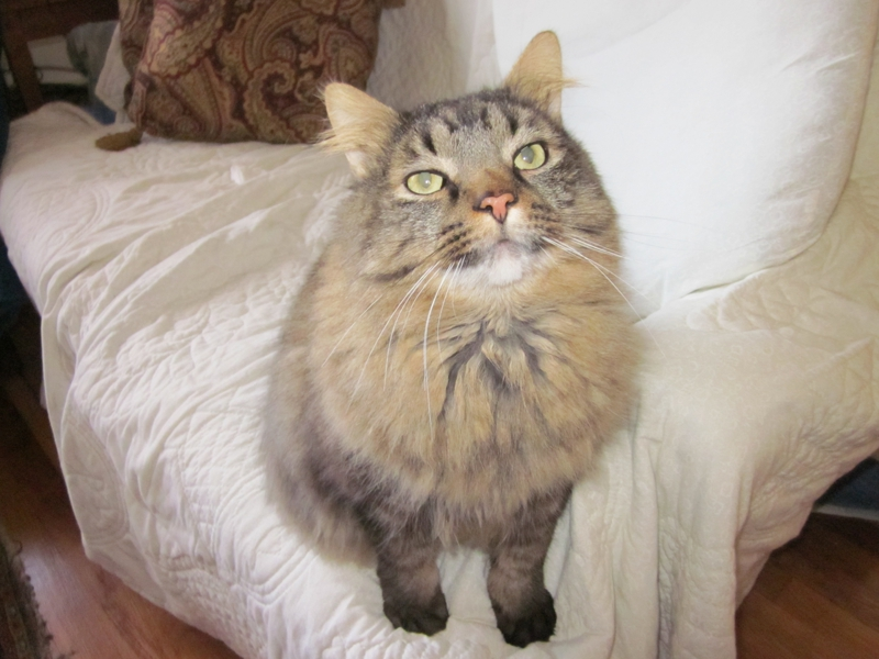 taylor ri maine coon real estate cat