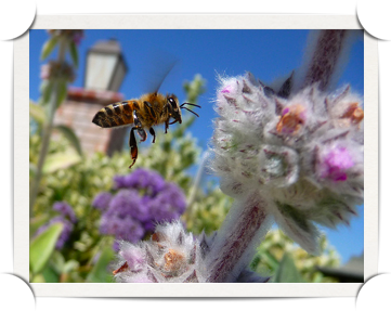 Bee In Flight By Jeff Turner, respres on Flickr