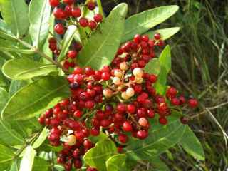 You Asked What Is That Bush With The Red Berries Growing In Haiku Maui