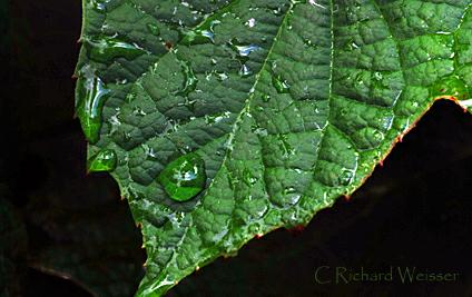 Oak Leaf Hydrangea by Richard Weisser