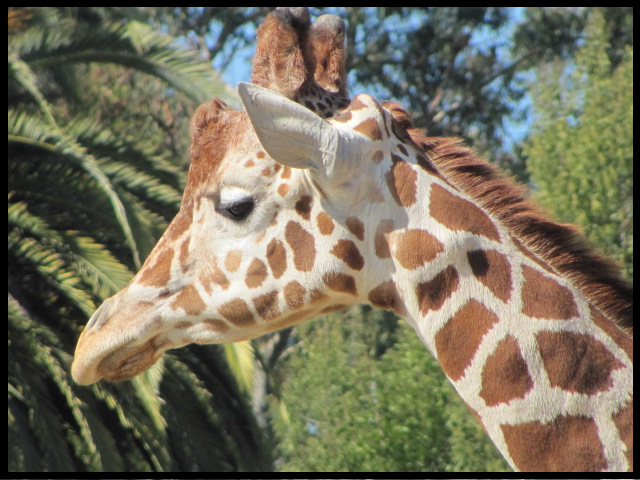 Reticulated Giraffe,