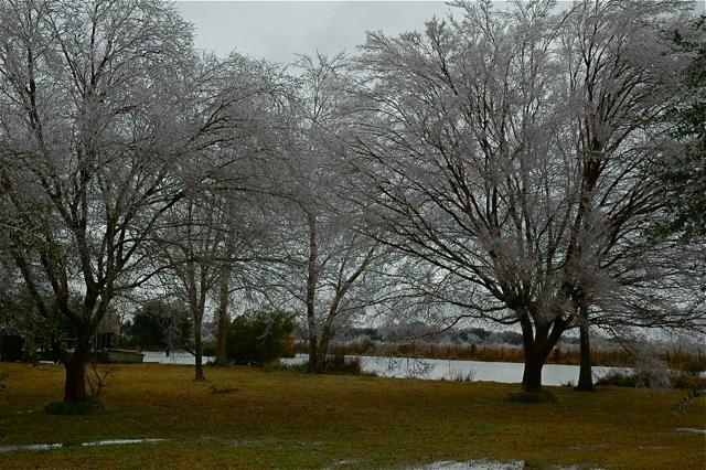 Frozen trees in Maurice, LA, February 2011