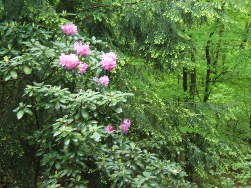 rhodies in the woods