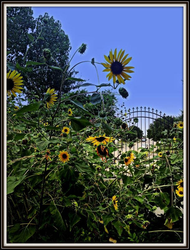 Life is Good Sunflowers