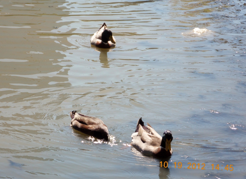 Wildlife living at the pond in Cypress Texas