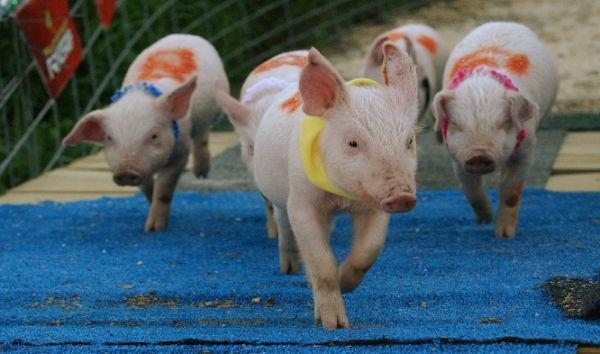 The LA Pig races at the Benton County Fair