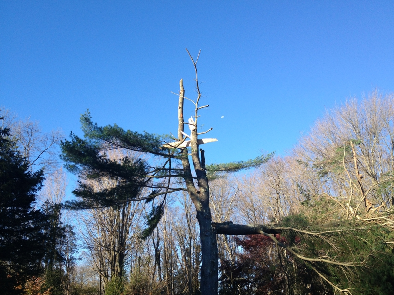 white pines after Hurricane Sandy