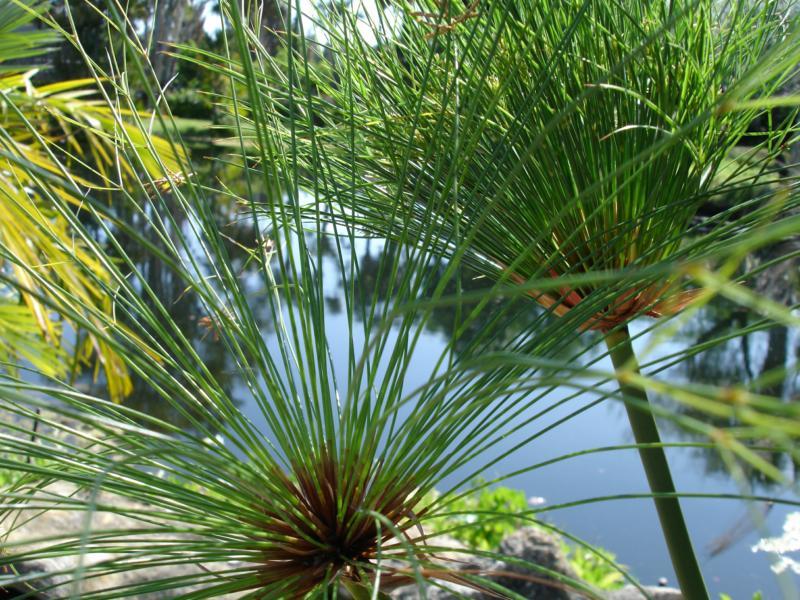 Papyrus Plant In Vero Beach Fl