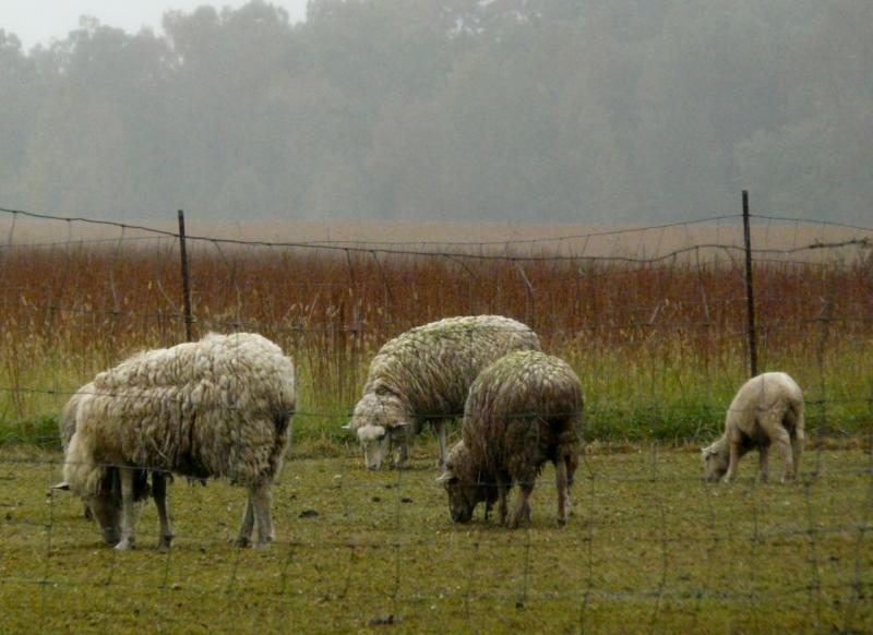 Dirty Sheep - photo by Kate Elim