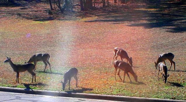 Deer in Elkins Lake, Huntsville TX