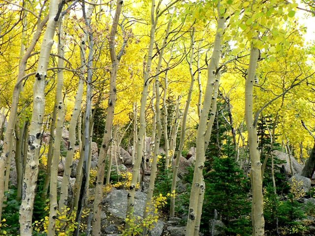 Fall Brings Golden Color From Aspen Trees