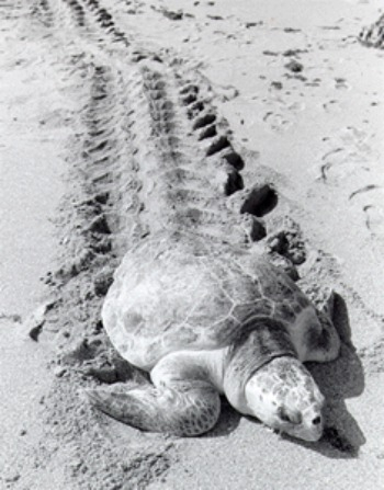 Turtles Drag Themselves Across The Beach To Lay Eggs.