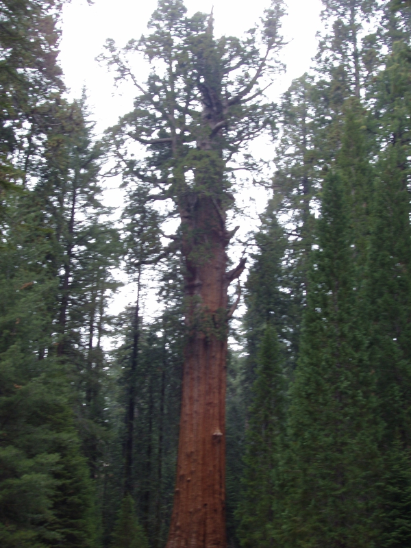 One of the Giant Sequoias by Endre Barath