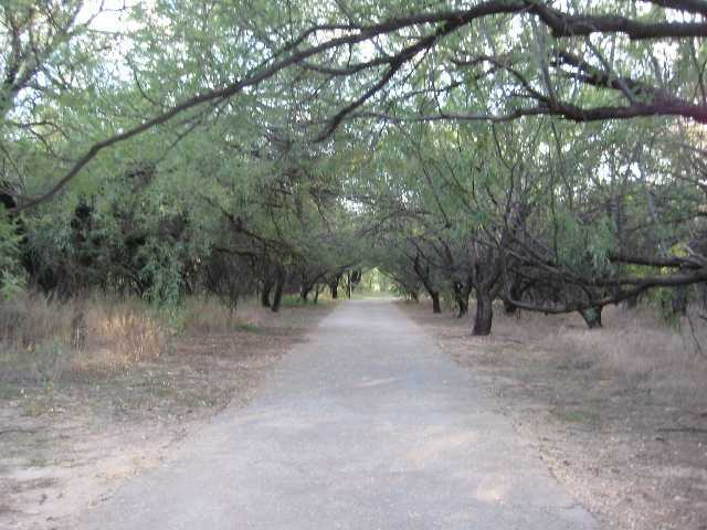 Mesquite tree orchard at Agua Caliente Park
