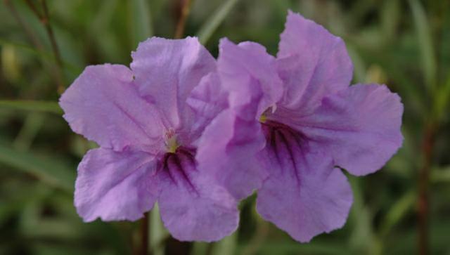 Purple flower in south Louisiana