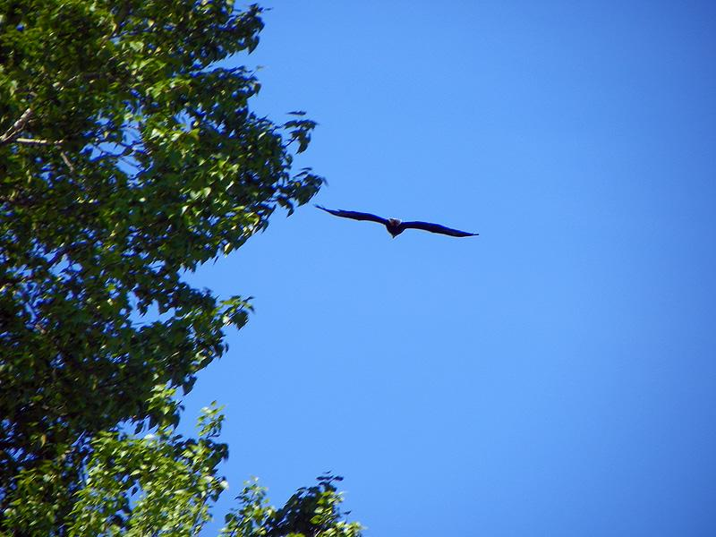 Eagle in flight over Lake Pend Oreille