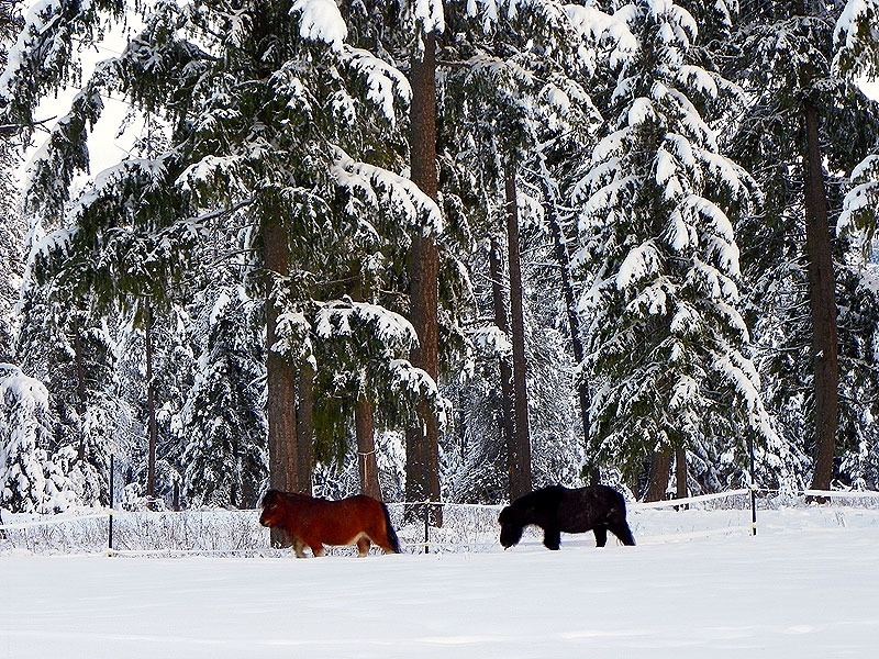 Ponies with their wintercoats along the Pend Oreille River