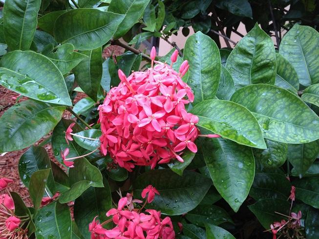 Ixora – Florida Gardening