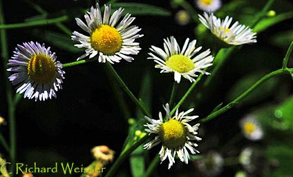 Fleabane Daisy by Richard Weisser