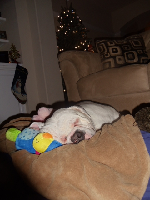 Droopy- Disabled American Bulldog 4 yr old boy needs a home - Tampa, FL - Westchase