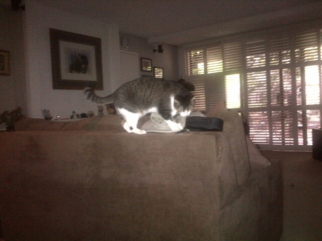 jill the rescue cat playing with hat Endre Barath