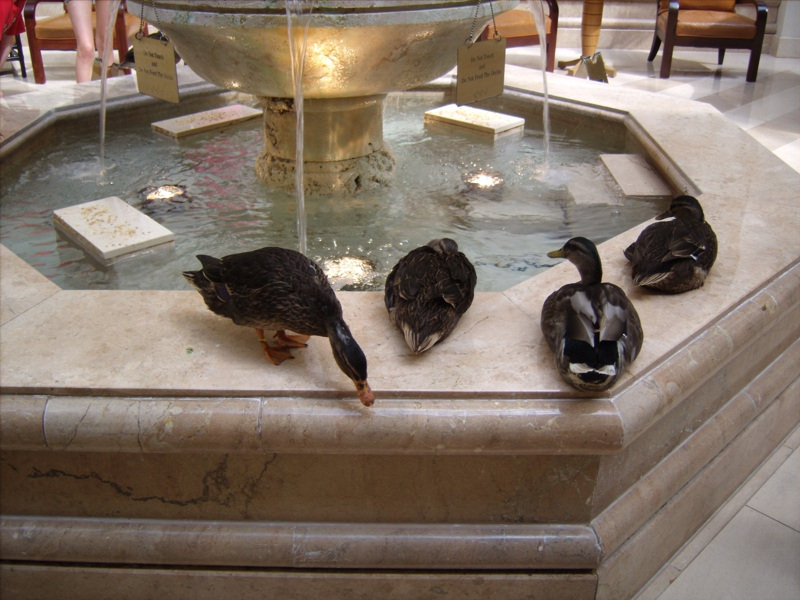 The famous ducks at the Peabody Hotel in Orlando Florida