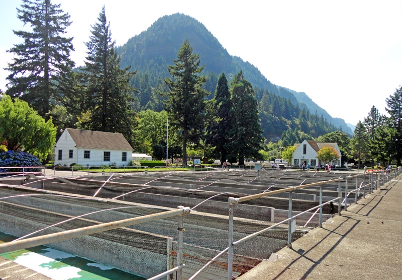 Bonneville dam fish hatchery from pre historic to for Hood river fishing