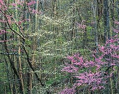 Redbuds and Dogwoods in the Ozarks