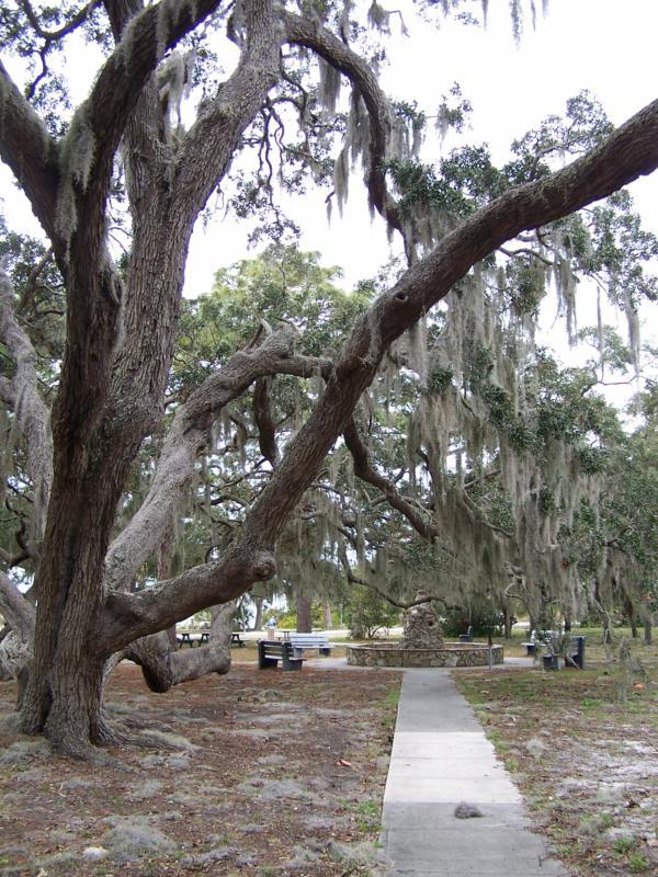Crystal Beach Florida Our Live Oak Trees Are Beautiful
