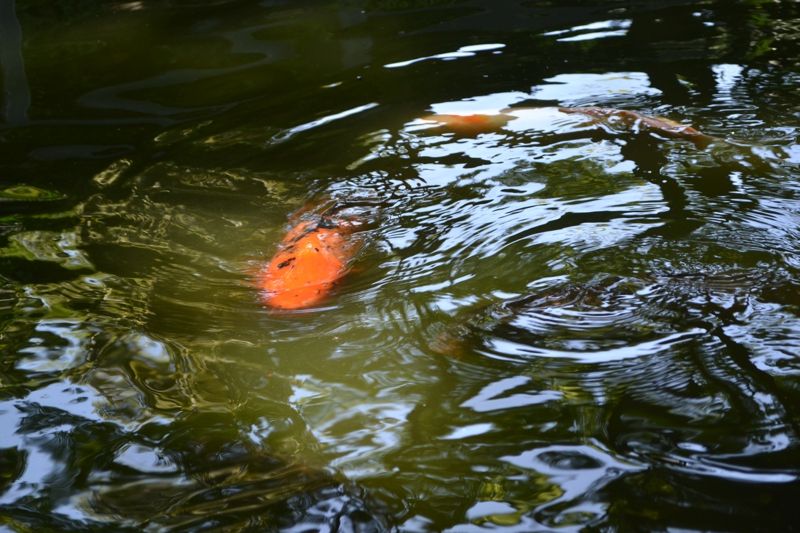 Tx realtor japanese gardens fort worth botanical gardens for Fish store fort worth