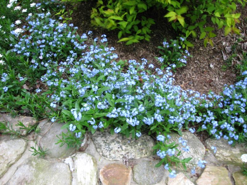 Forget-me-nots in the garden