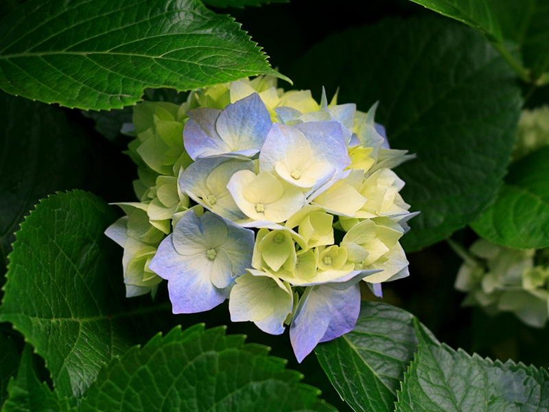 hydrangeas Are you sharing your best Michelle Carr Crowe harvest