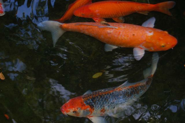 Koi Pond at Marie Selby Garden