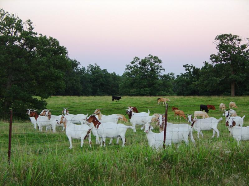 Raising Goats in Lebanon MO