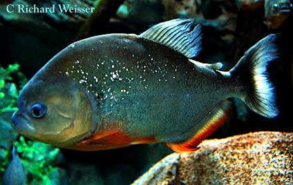 Piranha by Richard Weisser