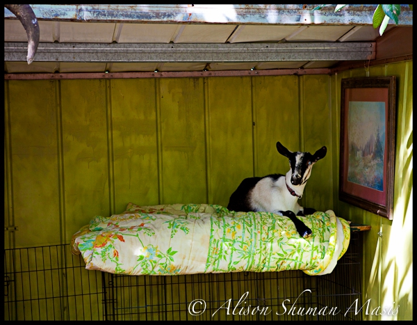 austin backyard goat