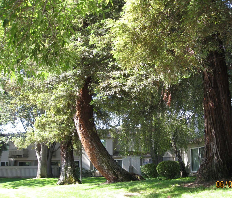 Mature tress Regency Park Townhomes San Jose Calif. 95129 image
