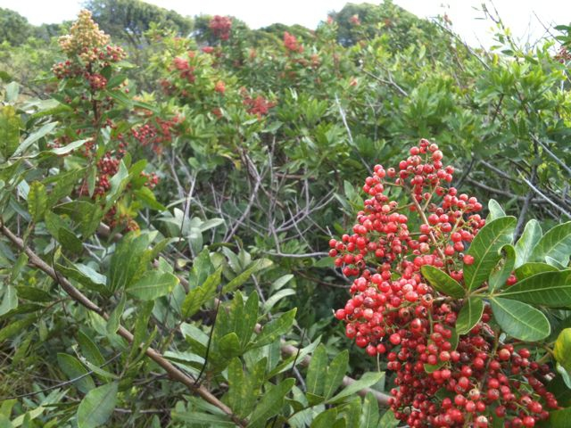 christmas berries in Haiku Maui HI