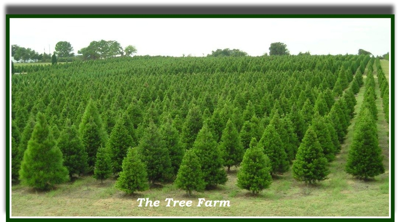- The Elgin TX Christmas Tree Farm ~ A Holiday Outing