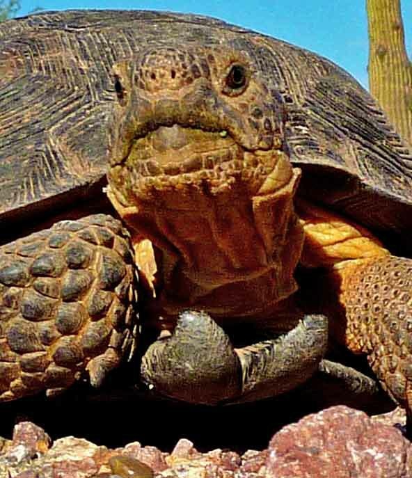 Desert Tortoise: Mike in Tucson