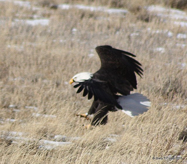 Bald Eagle - Photo by Gary Coles - Paradise4Gringos.com
